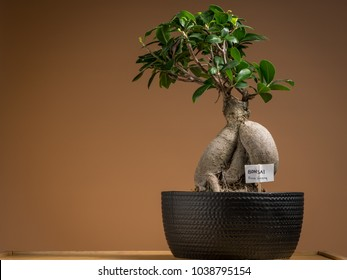 A small bonsai ficus tree (Ficus ginseng) planted in a black pot