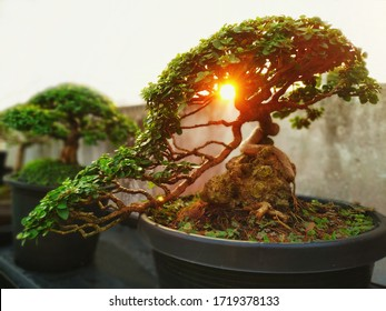 A small bonsai is growing in a black pot, overlaid with the light of the orange sun, giving a feeling of warmth in the morning. Bonsai Tree Gardening Concept.