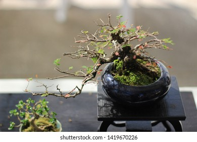 Small bonsai plant in tray