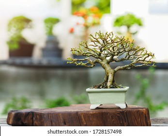 Small Bonsai Premna Taiwan on wooden base,Bonsai tree is an art and wonderful way to relax after a hard days work and it is a popular hobby in asia. Bonsai Plant Gardening Concept.