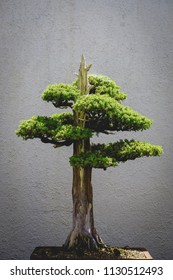 small bonsai tree