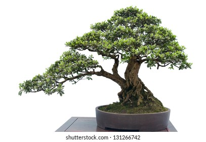 Ponderosa pine bonsai tree isolated on stock photo image royalty a small bonsai tree in a ceramic pot isolated on a white background mightylinksfo