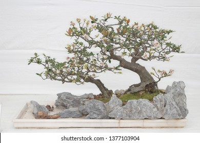 A small bonsai tree in a ceramic pot Cascade style