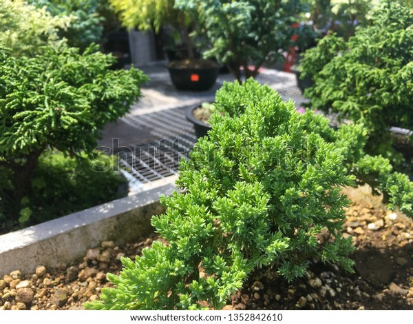 Small Bonsai Trees Being Sold Local Stock Photo Edit Now 1352842610