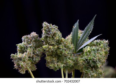 Small bouquet of fresh cannabis trimmed flowers (Mangolope marijuana strain) with leaf isolated over black background
