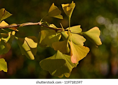 Small branch of the ginkgo biloba tree, also known as the maidenhair tree, in gorgeous golden yellow color, on a beautiful sunny autumn day.