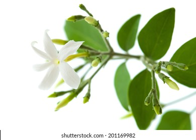 small branch on white jasmine with flowers and buds