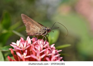 Skipper,dark small branded swift,lesser millet skipperorblack branded swift butterfly is trying to feeding flower honey with proboscis on pink ixora flowers with blurry green background