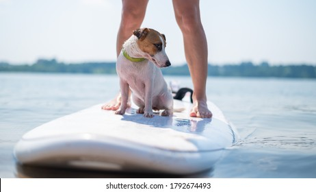 A small brave dog is surfing on a SUP board with the owner on the lake. Close-up of a jack russell terrier sitting on a surfboard next to female legs. Water sports.