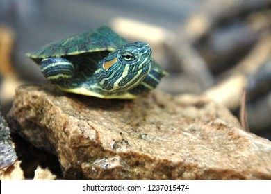 small brazilian turtles