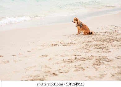 small breed dog haired brown ginger long-haired chihuahua happy standing on a beach in the sand relaxation pure thrill a lot of space for text, look on sea, ocean summer warm clean