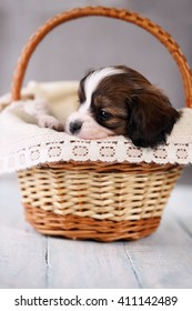 Small breed Papillon puppy in a basket