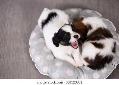 small breed puppies Papillon sweetly sleeping on pillow