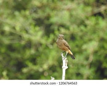 small Brewer's Bird Dark Brown colored male on stem, scientific name Euphagus cyanocephalus.