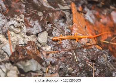 Small Bright Orange Salamander on Wet Leaves and Rocks. Blurred Background and Depth of Field.