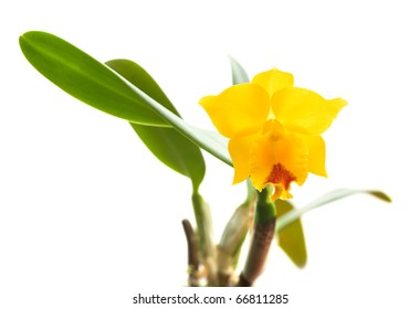 small bright yellow and red flowering cattleya orchid; isolated on white;