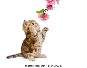 Small British kitten and decorative flower, isolated on white background