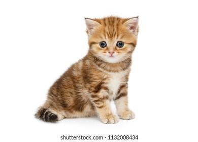 Small British kitten  isolated on white background