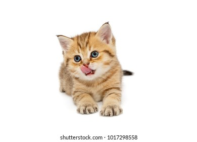Small British kitten lying on a white background, isolated