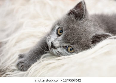 small british kitten on the sheep's clothing