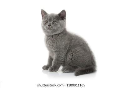 Small british kitten on white background