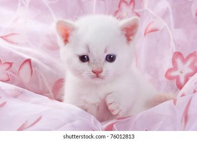 Small british kitten in pink