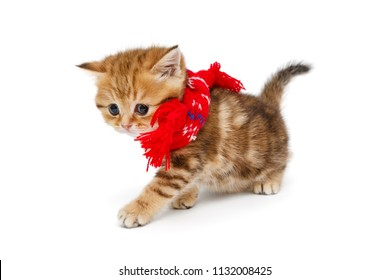Small British kitten  in red scarf  isolated on white background