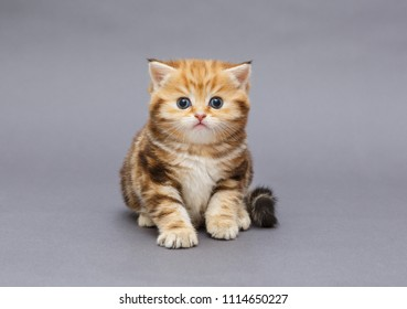 Small British marble breed kitten on grey background