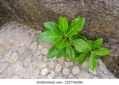 Small broadleaf tropical plants nestled between the base of a granite cliff and a stone walkway.
