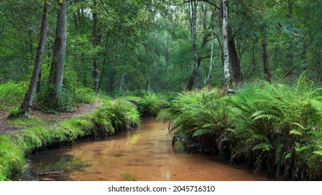 Small brook Rosep lined with ferns in the Kampina forest near Oisterwijk