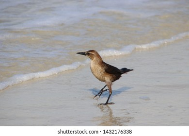 Small brown common grackle bird on beach wading in the ocean waves.