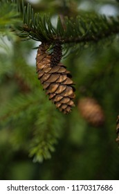 Small brown cones on a branch of a pine tree