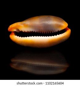 small brown Cowry shell on black mirror, isolated