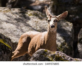 Small brown deer hiding amongst rocks amongst the shadows looking alertly at the camera in alarm with raised ears