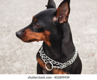 Small brown dog with black ears sticking with a chain around neck
