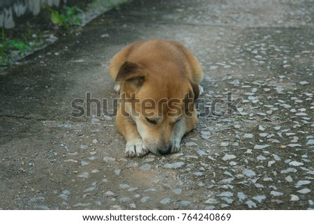 6ff19c01ab6 Small Brown Dog Laying Down On Stock Photo (Edit Now) 764240869 ...