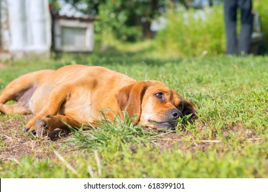 Small brown dog lies on the green grass, in the yard of the house and looks carefully at the owner.