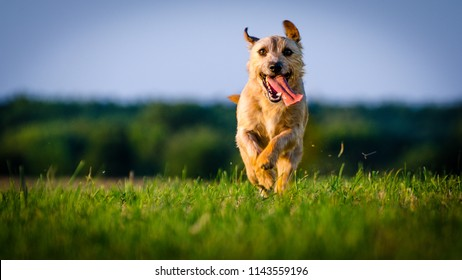 A small brown dog mix jack russell terrier running on meadow in the rays of the setting sun.
