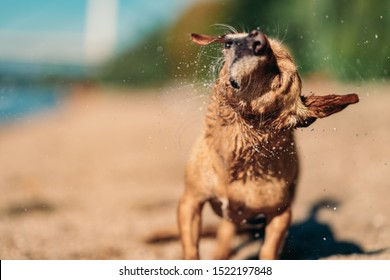 Small brown dog shaking off water after swimming in river
