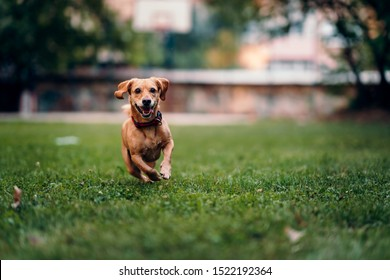 Small brown dog wearing red collar running on the grass