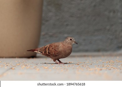 small brown feathered dove, known as common ground-dove, scratching the millet seeds scattered on the ground, next to a light brown vase.