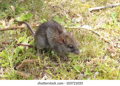A small, brown field mouse sits in short grass observing/Small Field Mouse/A small field mouse in the grass