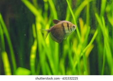 A small brown fish in the aquarium.