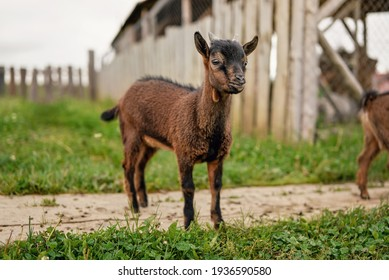 Small brown goat (Holland pygmy breed) kid grazing at the farm