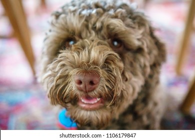 Small brown labradoodle dog