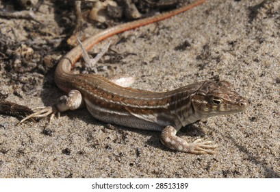 Small brown lizard on the sand taking sun