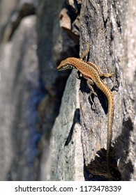 Small brown lizzard on rock on a sunny day
