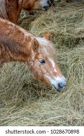 A Small brown pony eats hay in the pasture