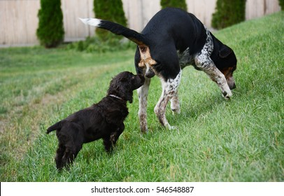 Small brown puppy smells big dog