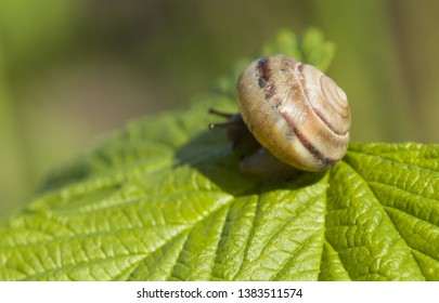 Small brown snail on green leaf. In daylight